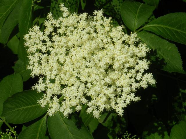 Elder Blossoms