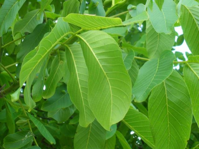 Nut Leaves